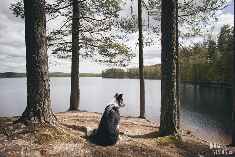 #TongueOutTuesday (23), hondenfotografie blog, honden blog, wandelen in Zweden, Dalarna, Border Collie, www.DOGvision.be