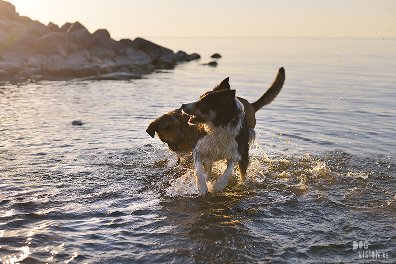 #TongueOutTuesday (24), hondenfotografie, Zweden, avontuur met honden, roadtrip met honden, blog op www.DOGvision.be