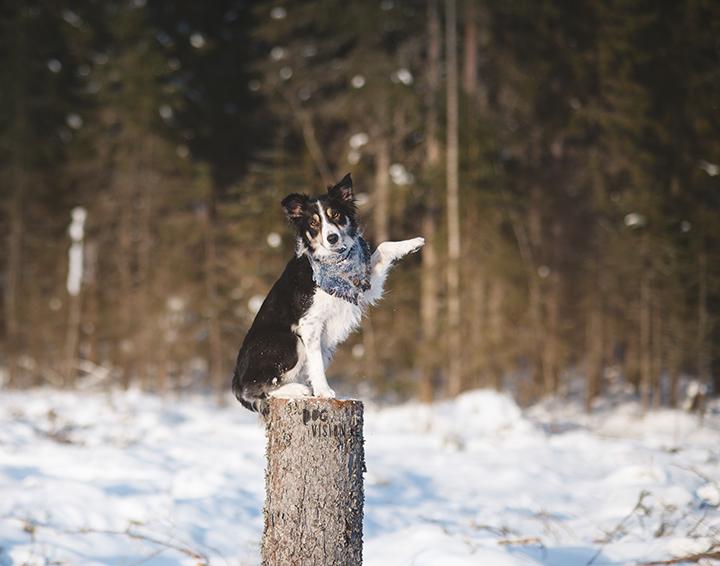 DOGvision creatieve hondenfotografie, Dalarna Zweden, Border Collie, www.DOGvision.be