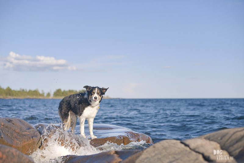 Honden in Zweden, Karlstad, hondenfotograaf Europa, Border Collie, www.dogvision.be