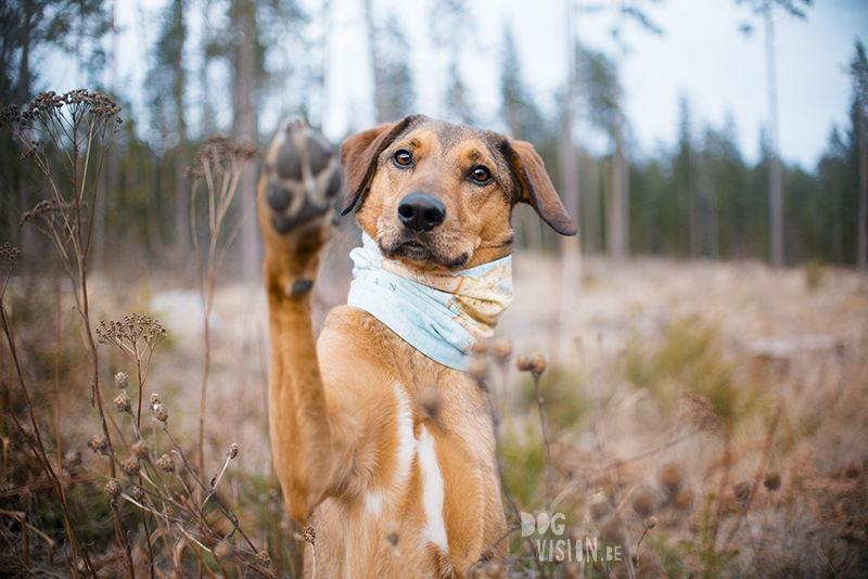 Vrolijk Pasen, hondenfotografie paashond, Zweden, Border Collie, Fenne Kustermans, www.DOGvision.be