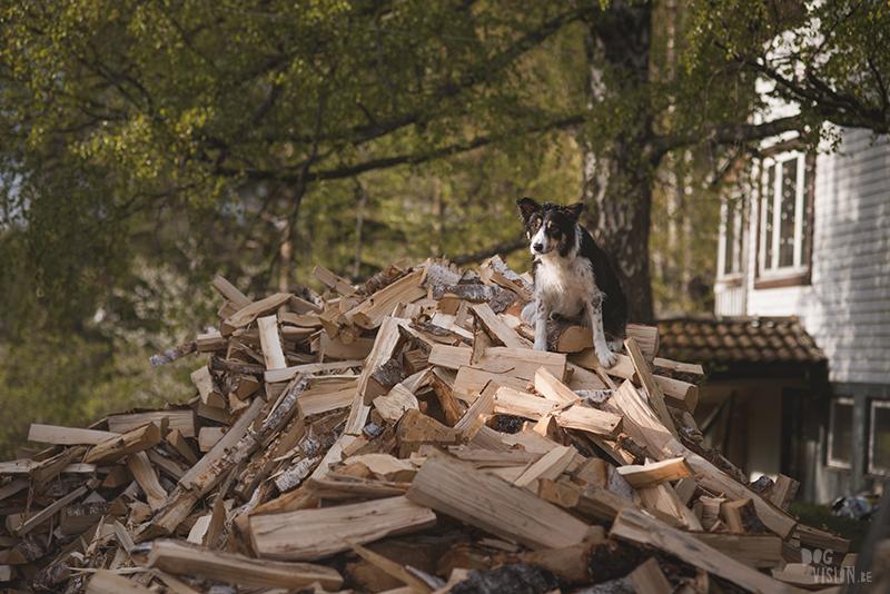 Hondenfotografie, hondenfotograaf, Fenne Kustermans, www.dogvision.be, fotografie Zweden, Dalarna, honden blog