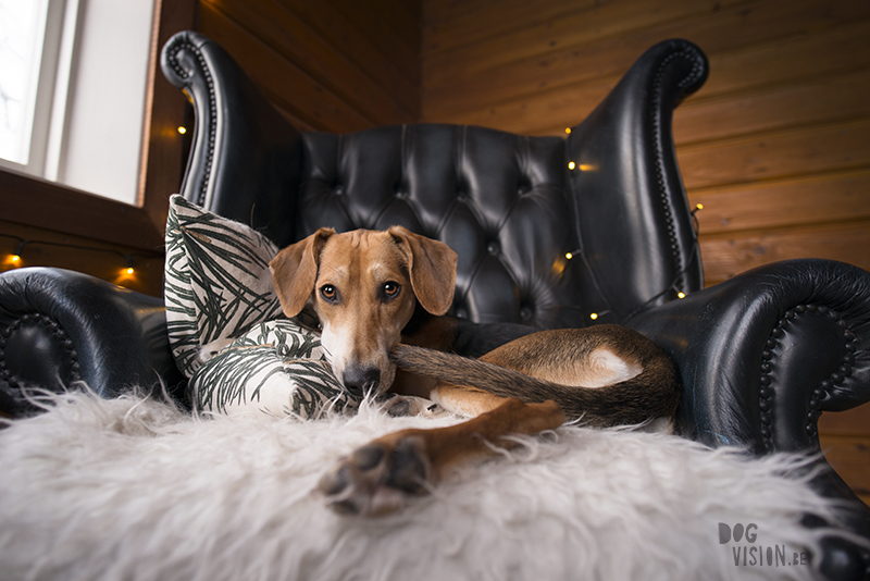 dog in chesterfield chair, indoor dog photography, www.dogvision.eu