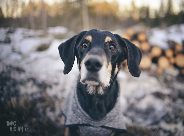 #TongueOutTuesday (15), dog photographer in Sweden, Dalarna, dogphotography, blog on www.DOGvision.eu