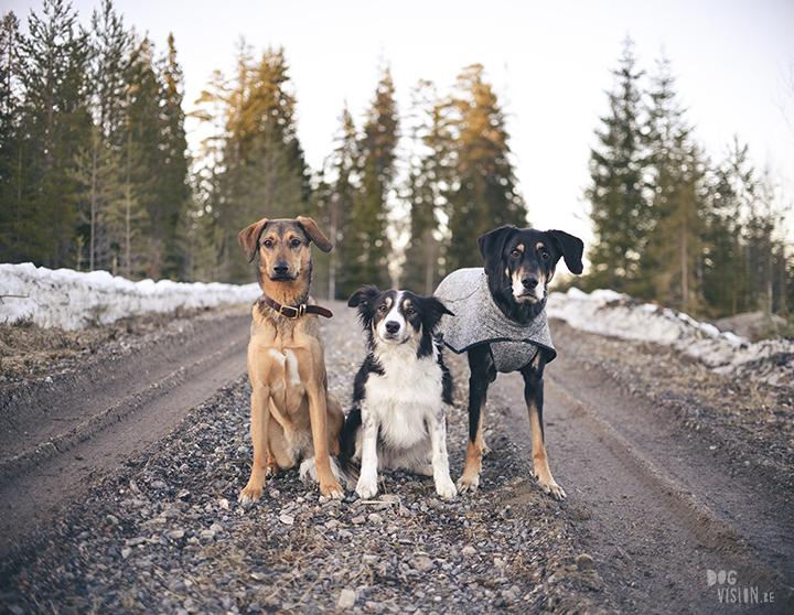 #TongueOutTuesday (15), hondenfotografie in Dalarna, Zweden, natuur en avontuur met honden, www.DOGvision.be