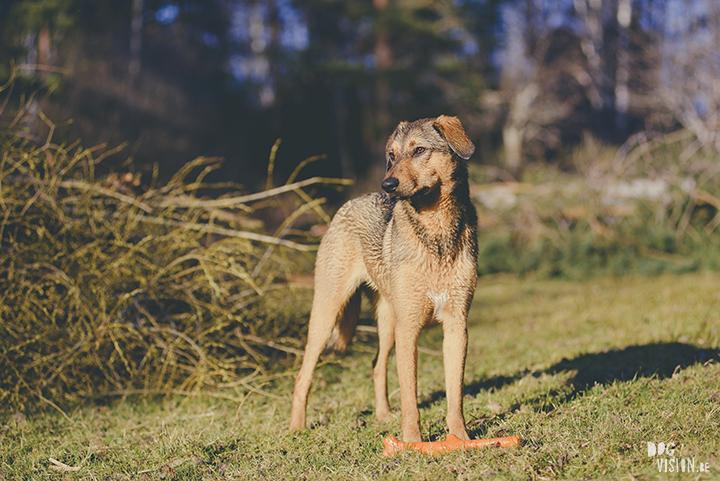 #TongueOutTuesday (19), hondenfotografie, honden in Zweden, outdoors met honden, hondenfotograaf, blog op www.DOGvision.be