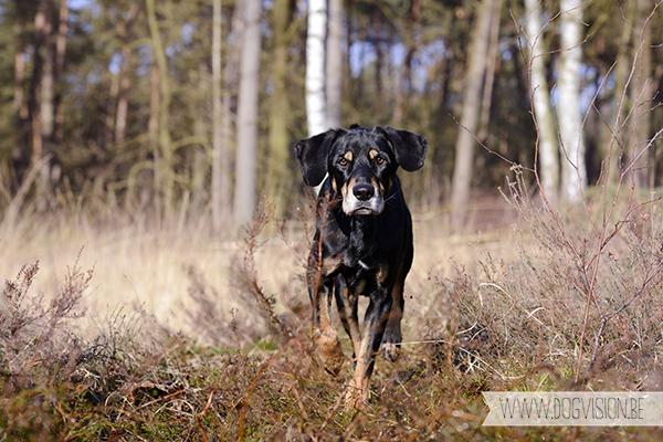 Ravasz | Erdélyi Kopó | www.DOGvision.be | hondenfotografie