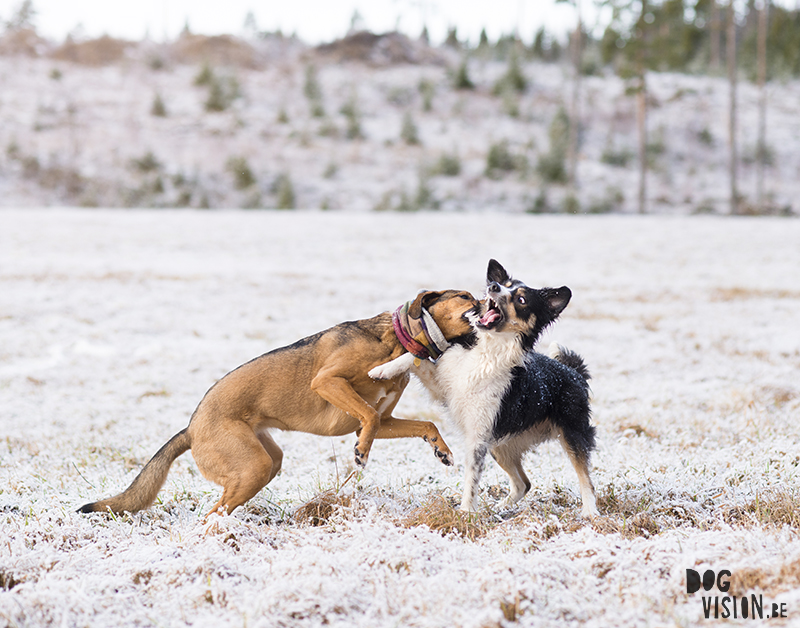 #TongueOutTuesday (14), dog blog, European dogs in Sweden, dog photographer Sweden, dog photography project, www.DOGvision.eu