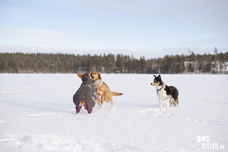 Wandelen over een bevroren meer in Zweden, honenwandeling, honden actie foto in de sneeuw, www.DOGvision.be