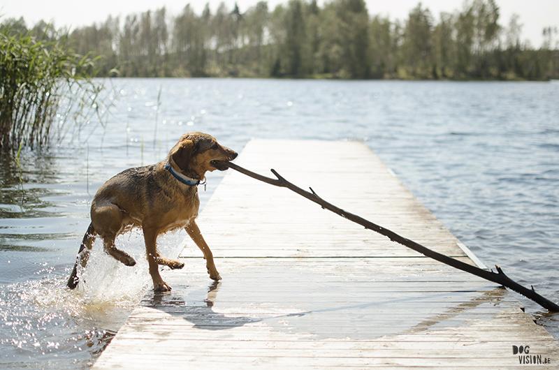 Zwemmen in de Zweedse meren, zomer in Zweden, honden in Zweden, hondenfotografie DOGvision, www.DOGvision.be