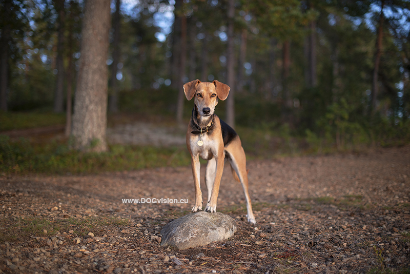 #TongueOutTuesday (38), dog photography Fenne Kustermans, dogs in Sweden, hiking with dogs, dog photographer, Dalarna, dog training, www.DOGvision.eu