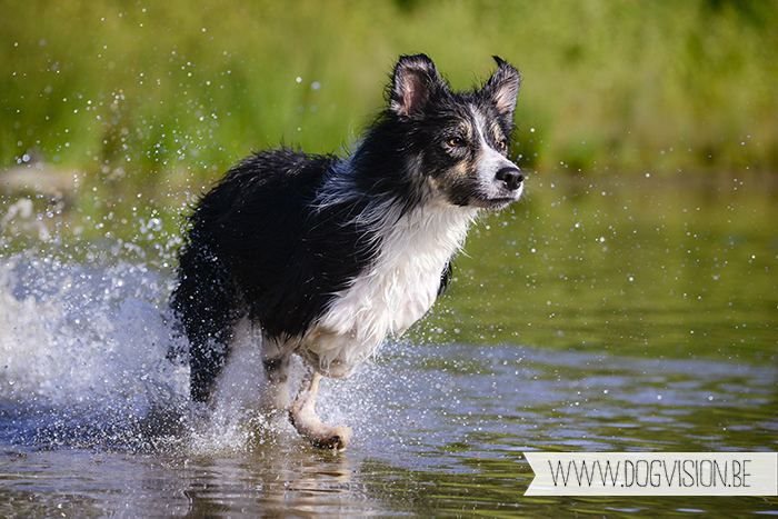 K9-splashers | www.DOGvision.be | Border Collie