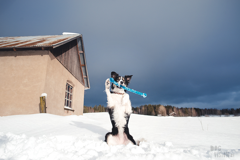 #TongueOutTuesday (07), hondenblog, honden in Zweden, verhuizen naar Zweden met honden, hondenfotografie, hondenfotograaf, www.DOGvision.be