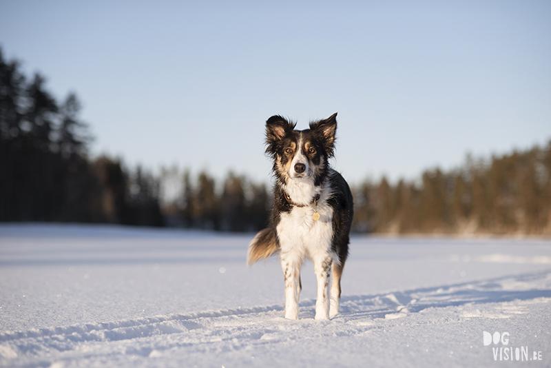 #TongueOutTuesday (08), Fenne Kustermans hondenfotografie, wandelen met honden in Zweden, Winter in Zweden, www.DOGvision.be