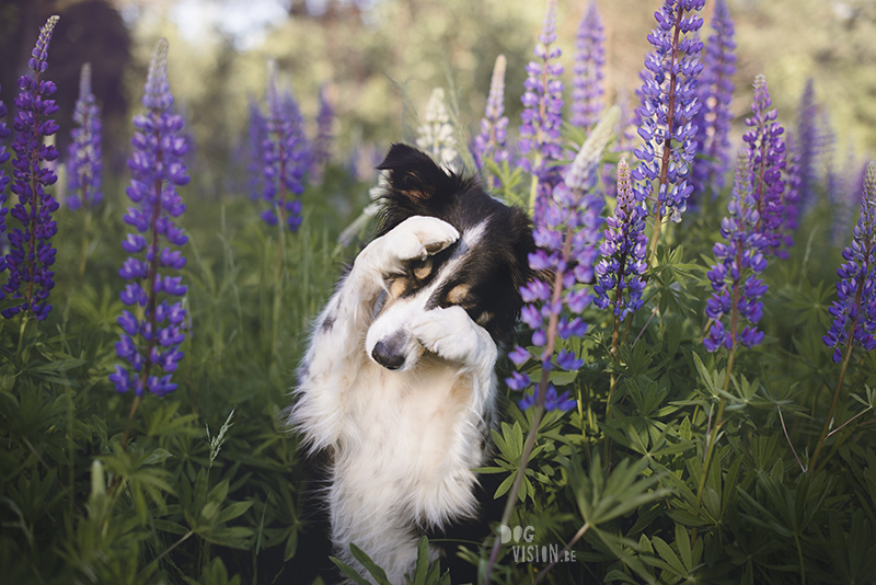 Border Collie shy trick, dog trick, cute dog trick, dog photography, summer lupines, www.DOGvision.eu