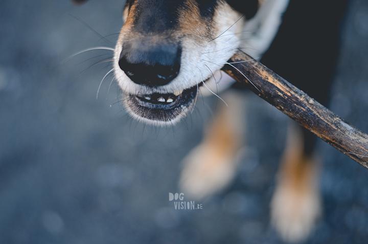 Dog with stick | Ravasz | Transylvanian hound| www.DOGvision.be