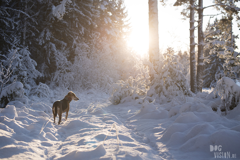 #TongueOutTuesday (50), hondenfotografie Zweden, sneeuw honden, Border Collie fotografie, www.DOGvision.be