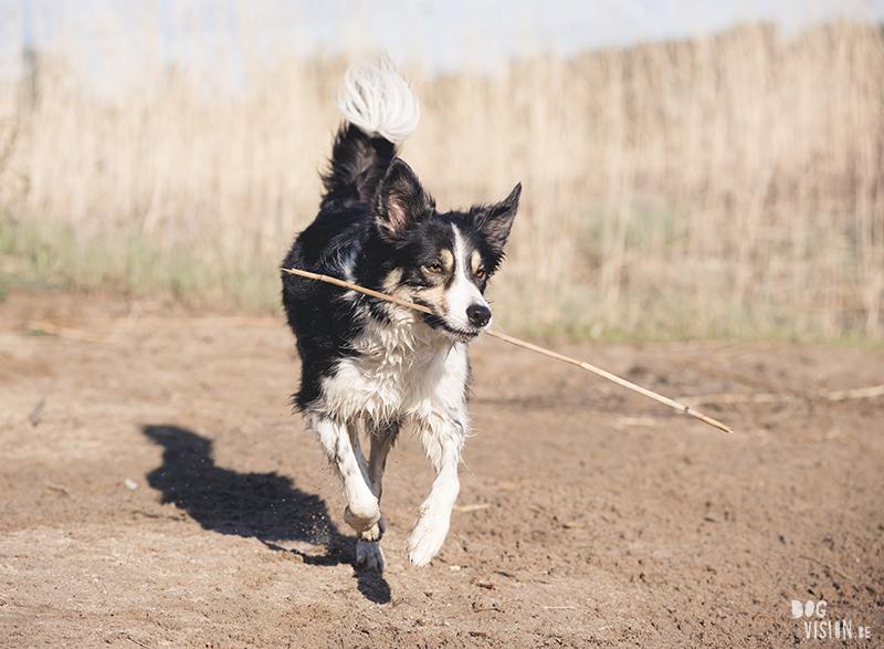 Border Collie, straathond Bosnië, straathond Kreta, hondenfotograaf, hondenfotografie, Zweden, www.DOGvision.be