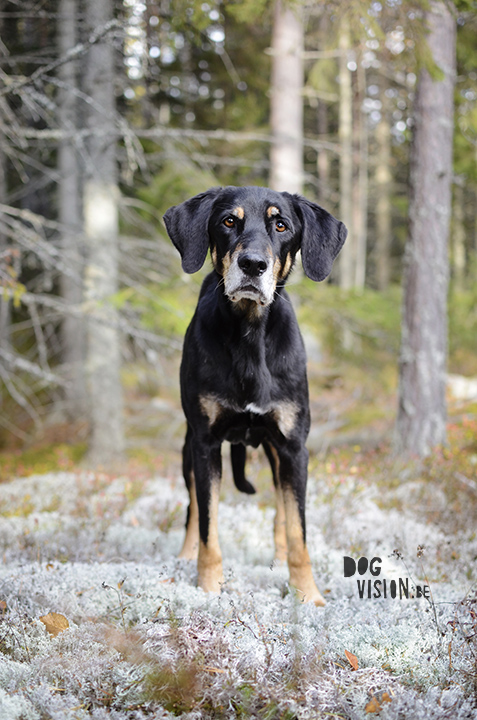 Mos | www.DOGvision.be --> dog photography (Ravasz: Erdelyi Kopo/ transylvanian hound)