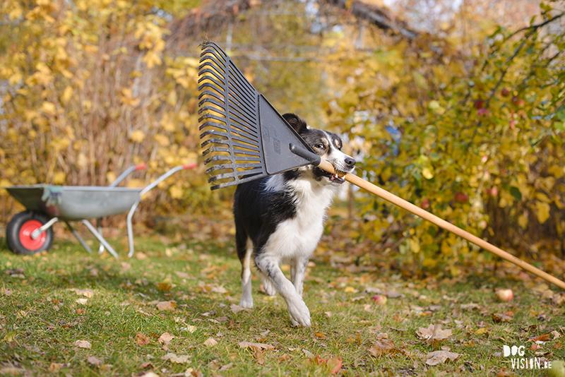 Herfst, tuinhulp, hondenfotografie, fotografie Zweden, hondenfotograaf Zweden, Belgen in Zweden, www.DOGvision.be