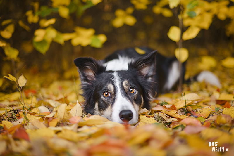 Autumn fall dog photography Sweden, Border Collie, dog photographer Europe, www.DOGvision.eu