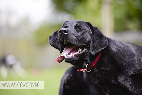 In de tuin | www.DOGvision.be | Black Labrador retriever