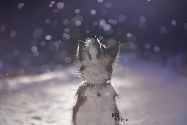 Dog photography tips & tricks on www.DOGvision.be | Border Collie Mogwai.