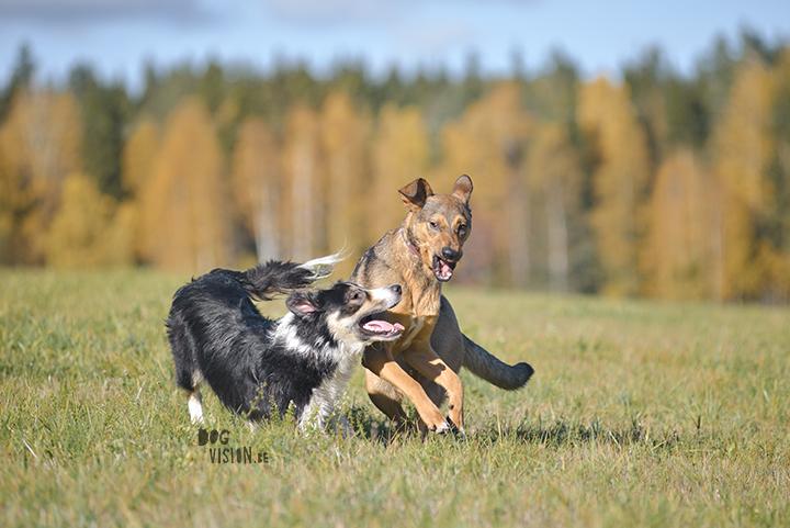 Oktober in Zweden | hondenfotografie en blog | www.DOGvision.be