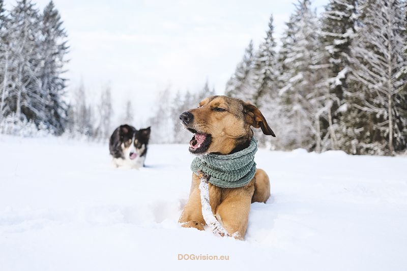 #TongueOutTuesday (04), Fenne Kustermans, honden in Zweden, honden blog, honden in de sneeuw, hondenfotografie. Honden snood, Border Collie. www.DOGvision.be