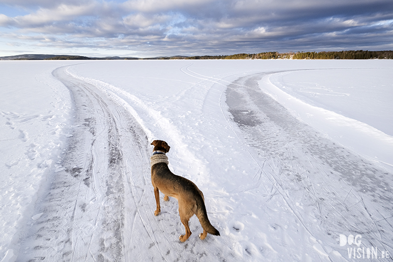 Fujifilm x-t4 performance during Swedish/Nordic winter & dog photography, www.DOGvision.eu