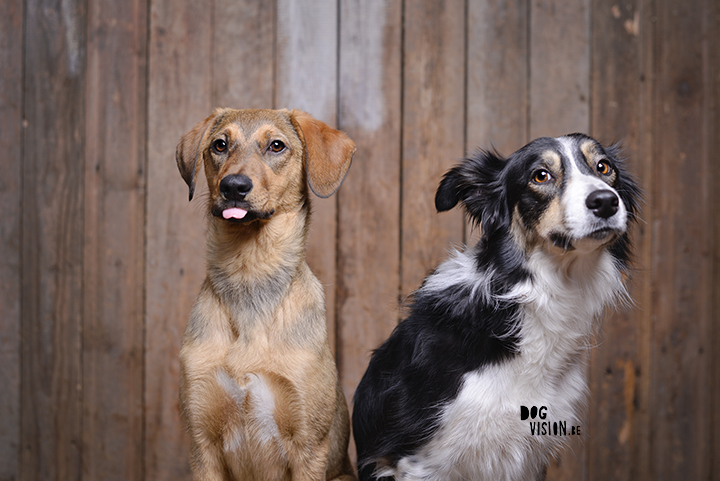 #TongueOutTuesday (16) | DOGvision photography | www.DOGvision.be | Border Collie & Rescue Mutt