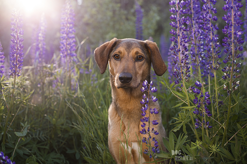 Outdoor dog photography, European dog photographer, dog photography with reflector, shooting in summer light, www.DOGvision.eu