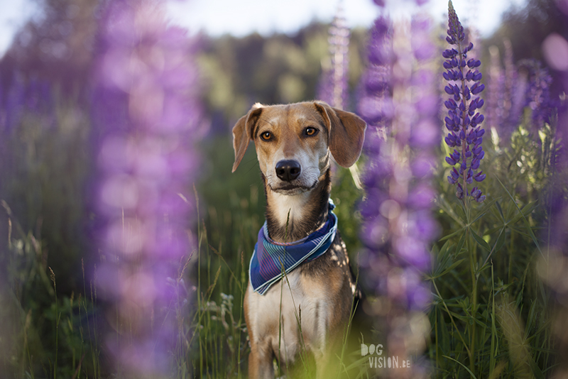 Bandana wearing dog with flowers, lupines, outdoors with dogs, outdoor dog photography, www.DOGvision.eu