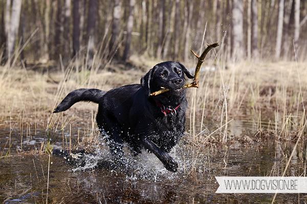 Full house | part 2 | www.DOGvision.be | Golden retriever & Labrador retriever visiting
