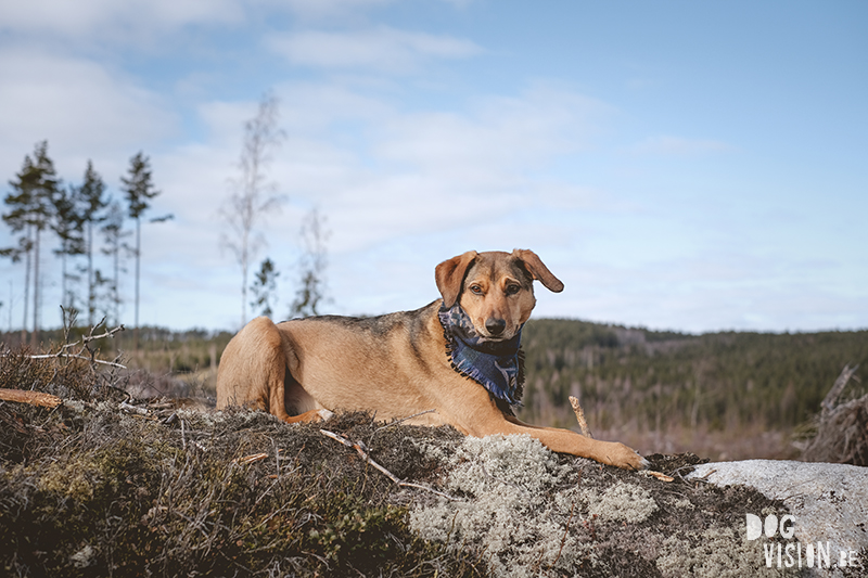 #TongueOutTuesday (12), DOGvision dog photography, natural authentic dog photographs, hiking with dogs in Dalarna Sweden, Fujifilm XT4, www.DOGvision.eu