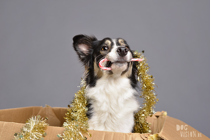 Life is like a box | Mogwai Border Collie | www.DOGvision.be | dog photography