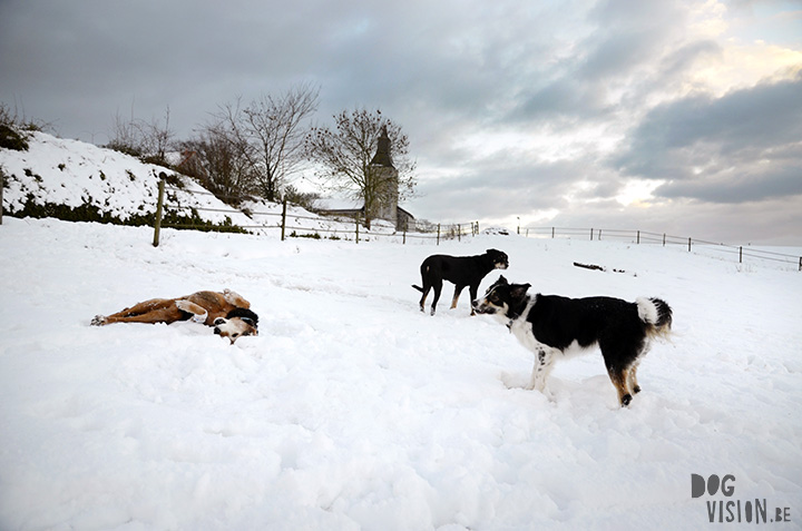16-01-2016   Snow   Belgium   DOGvision dog photography   www.DOGvision.be