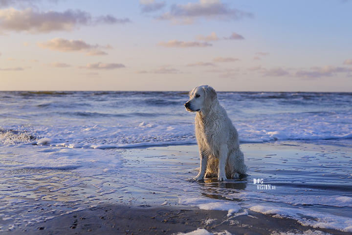 Dogs at the beach | www.DOGvision.be | Golden Retriever