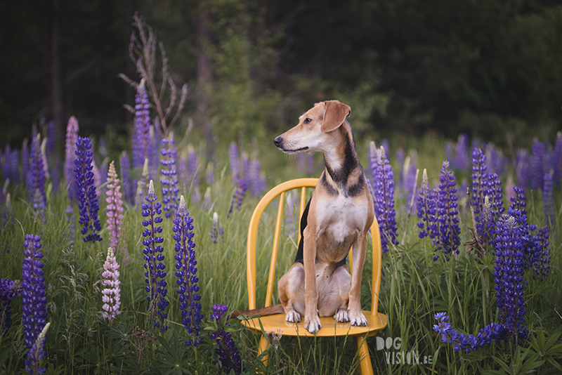 #TongueOutTuesday (27), Fenne Kustermans dog photographer in Sweden, Dalarna photography, hiking with dogs in Sweden, rescue dog from Crete, creatove and colorful dog photogrpahy, dog with summer floers (Lupines), www.DOGvision.eu
