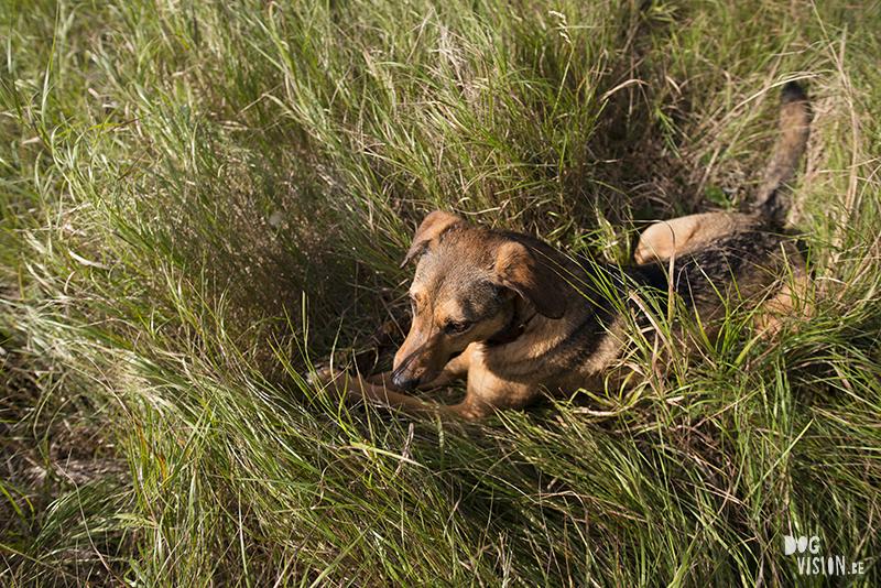 #TongueOutTuesday (34), hondenfotografie, hondenfotograaf Fenne Kustermans, hondenblog, wonen in Zweden met honden, www.DOGvision.be