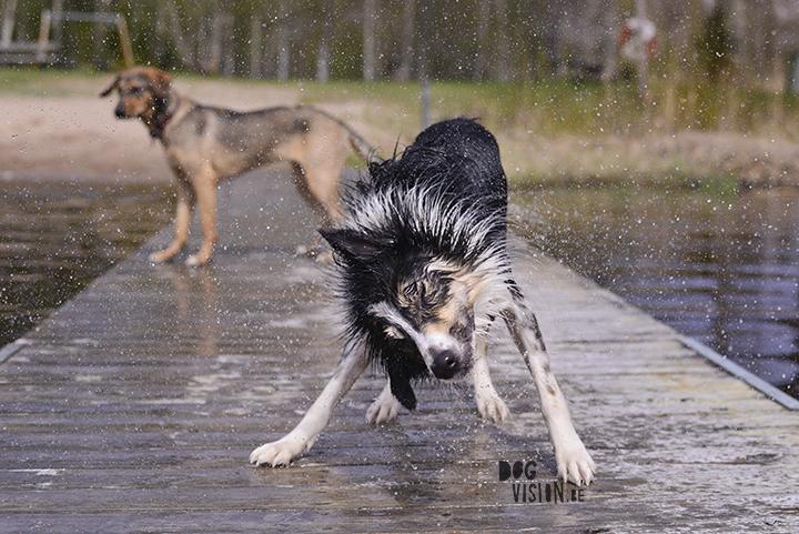 Dog shake Mogwai | Border Collie | dog photography www.DOGvision.be