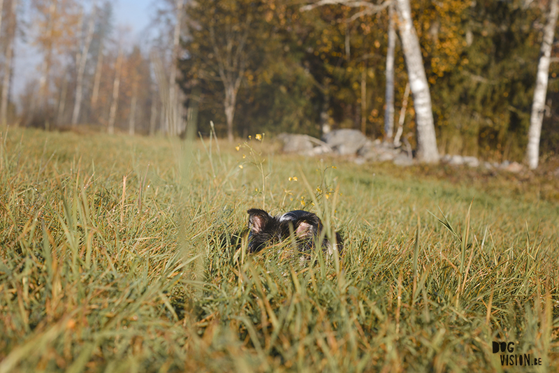 #TongueOutTuesday (45), honden blog, herfstfoto's honden, wandelen in Zweden, hondenfotografie www.DOGvision.be