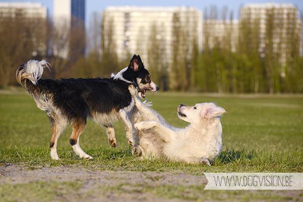 Nuna & Eclips (Black labrador retriever & Golden retriever)   www.DOGvision.be   dog photography