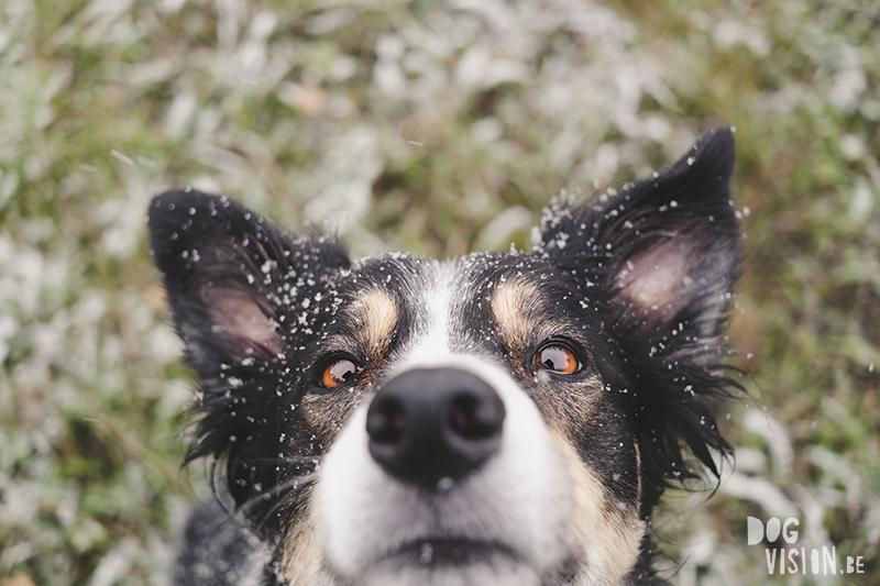 #TongueOutTuesday (43) en de eerste sneeuw, Fenne Kustermans hondenfotografie Zweden, honden fotograferen met Fuji, www.DOGvision.be