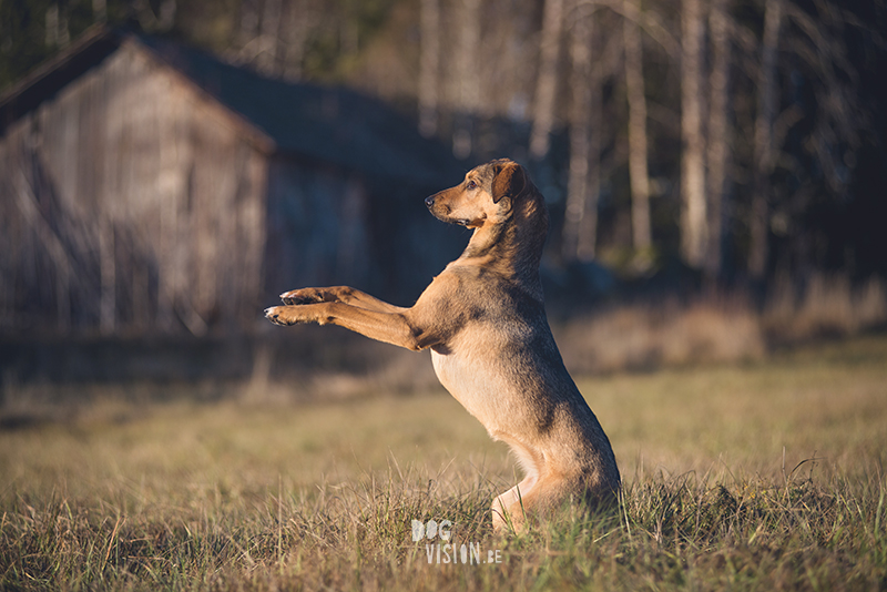 #TongueOutTuesday (51) , dog blog, dog photographer Europe, dog photography Sweden, www.DOGvision.eu