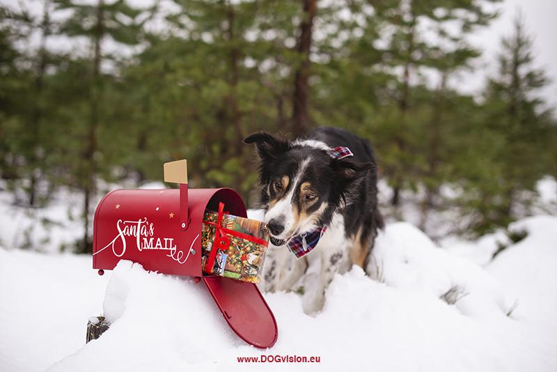 Border Collie Mogwai, Christmas dog photoshoot ideas, Santa's mailbox, dog gifts, snow. www.DOGvision.eu