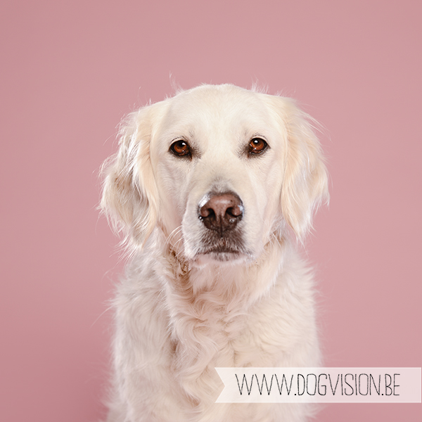 Eclips | Golden retriever | www.DOGvision.be | dog photography (hondenfotografie)