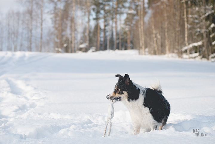 #TongueOutTuesday (09), hondenfotografie Zweden, Dalarna, blog op www.dogvision.be