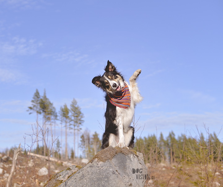 #TongueOutTuesday (18), Border Collie, Zweden, hondenfotografie, www.DOGvision.be