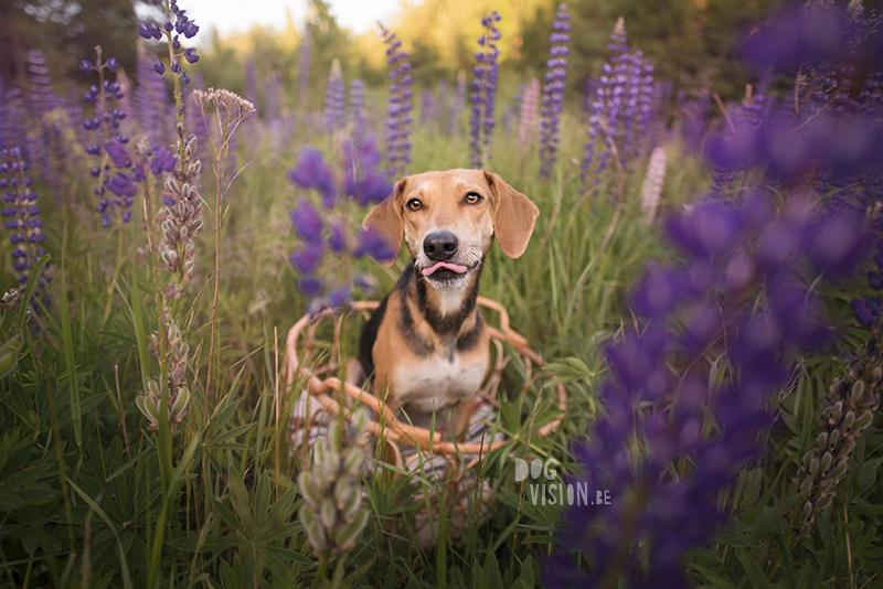 #TongueOutTuesday (28) , Fenne Kustermans dog photography, dog photographer Sweden Dalarna, hiking and camping with dogs, summer pictures of dogs with flowers, www.DOGvision.eu